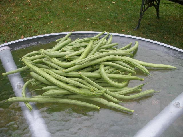 long-French-beans